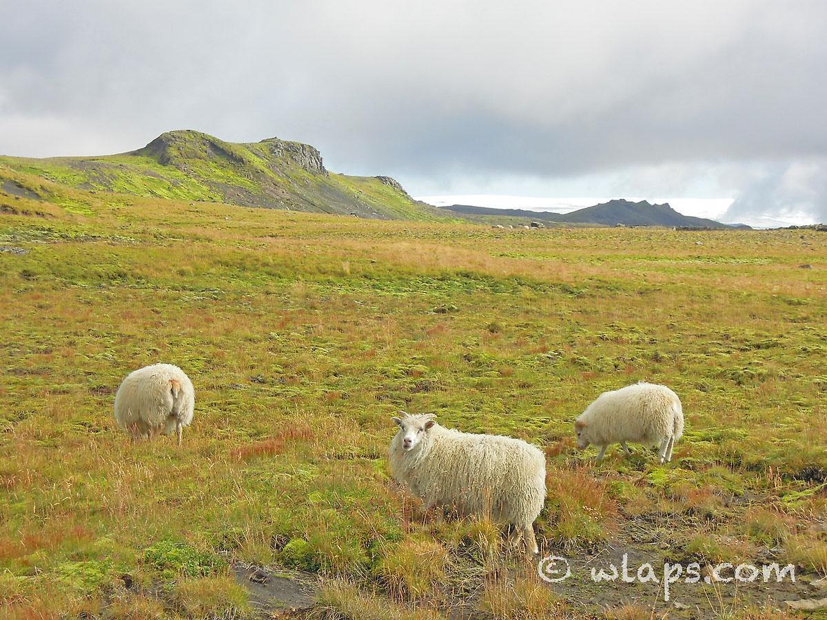 mouton-islandais