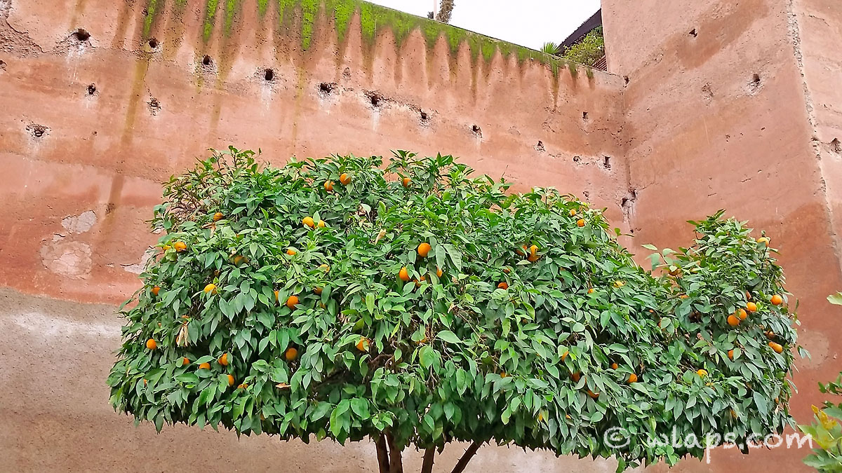 arbre-mandarinier-tombeaux-saadiens-carnet-voyage-maroc-marrakech