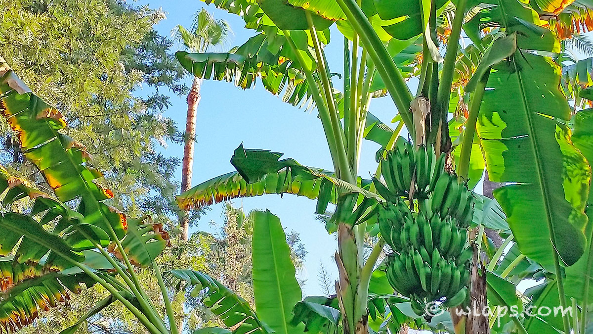 bananes-jardin-majorelle-carnet-voyage-maroc-marrakech