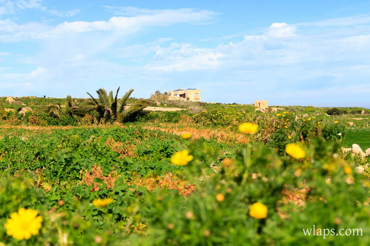 fleurs-printemps-malte-gozo